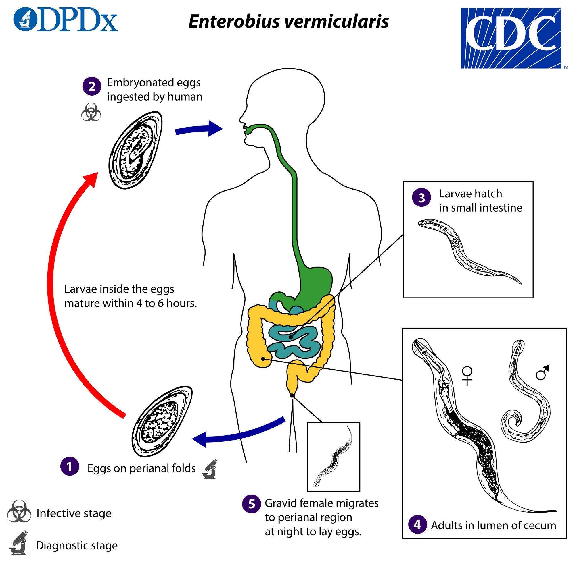 enterobius vermicularis oua cu ce copii de paraziți se ocupă