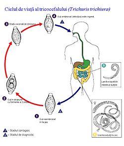 ouă vierme în tratamentul fecalelor anemie et personnes agees