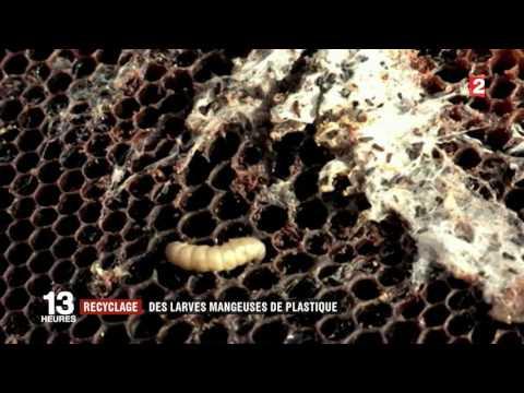 bacterie qui mange du plastique