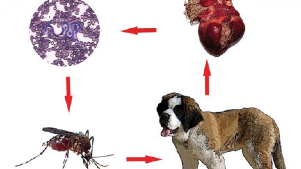 totul despre viermi și tratamentul lor îndepărtarea papilomelor intime