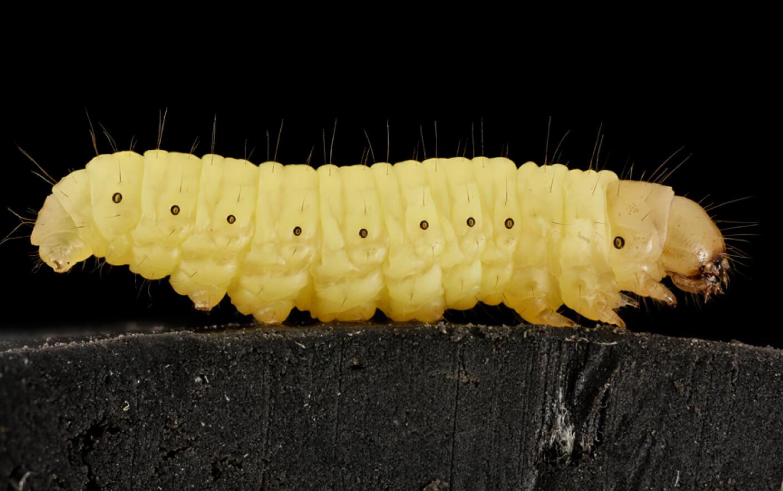 tratamentul alergiei la vierme los oxiuros se reproducen