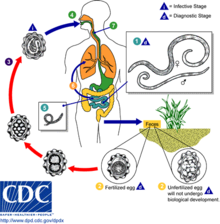 Helminth infections description. REVIEW-URI - Helminth infections description