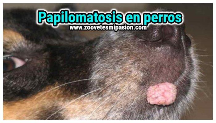 Papilomatosis bucal en perros tratamiento, Papilomatosis canina tratamiento