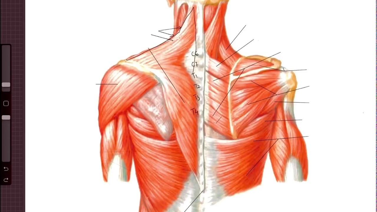 helminti în tratamentul mușchilor umani
