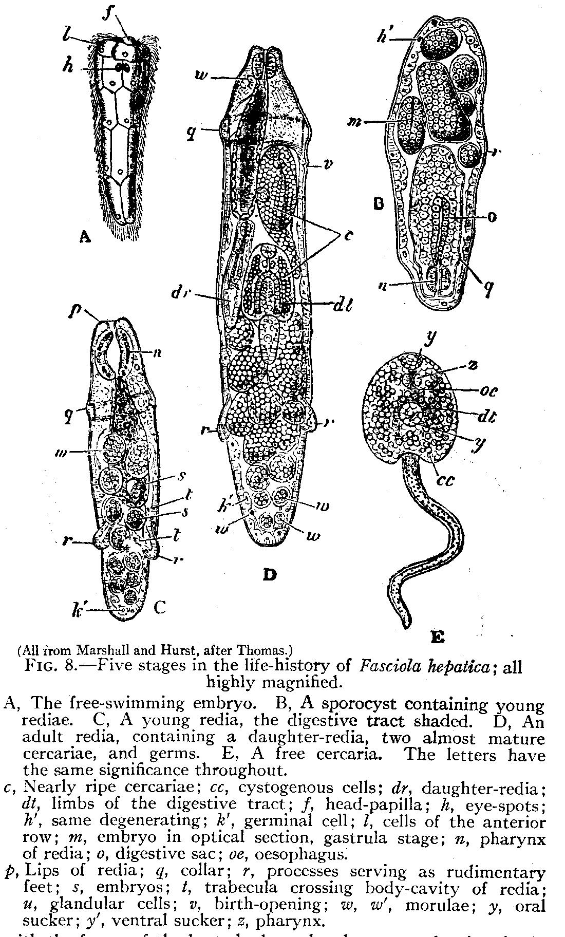 forme larvare de platyhelminthes Prezentare generală a managementului viermilor