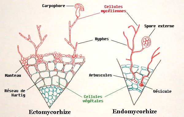 Cursul 4 Ciuperci Paraziti