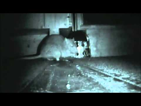autoinvazie cu șobolan cure warts hand