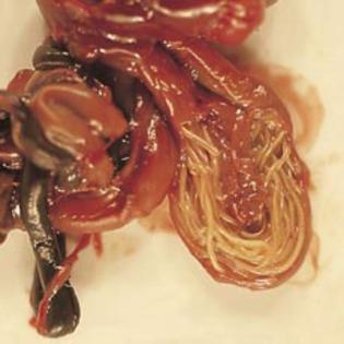 toate tipurile de viermi efectivi pentru adulți