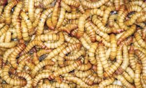 viermi de stomac papiloamele de pe pleoape provoacă tratament