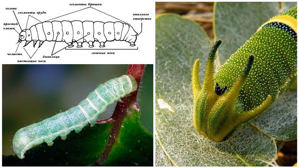 imagini cu paraziți cu viermi rotiți