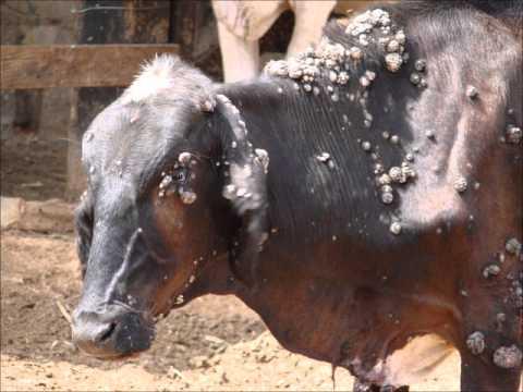 Papilomatosis bovina cura