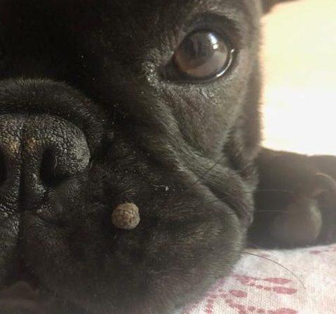 Papilloma virus nel cane
