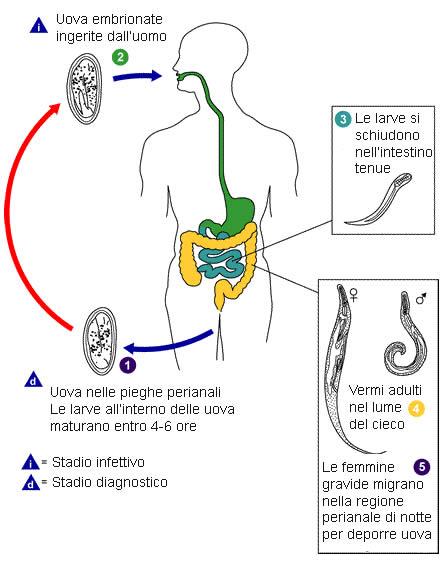 enterobius vermicularis sintomi vierme mama