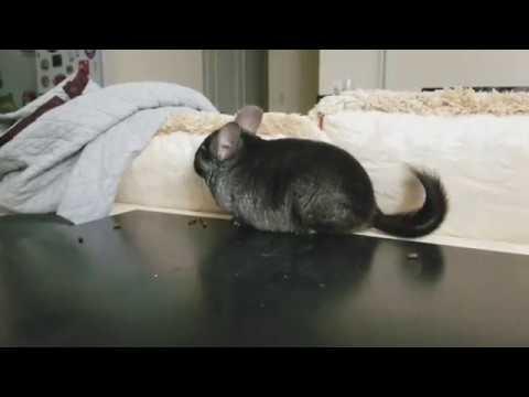 tratament cu vierme chinchilla ce pastile sa bea din viermi