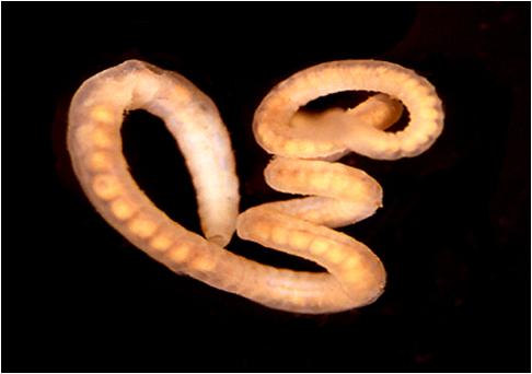 pregătire pentru îndepărtarea helmintelor de sub piele preparate pentru sugari pentru viermi