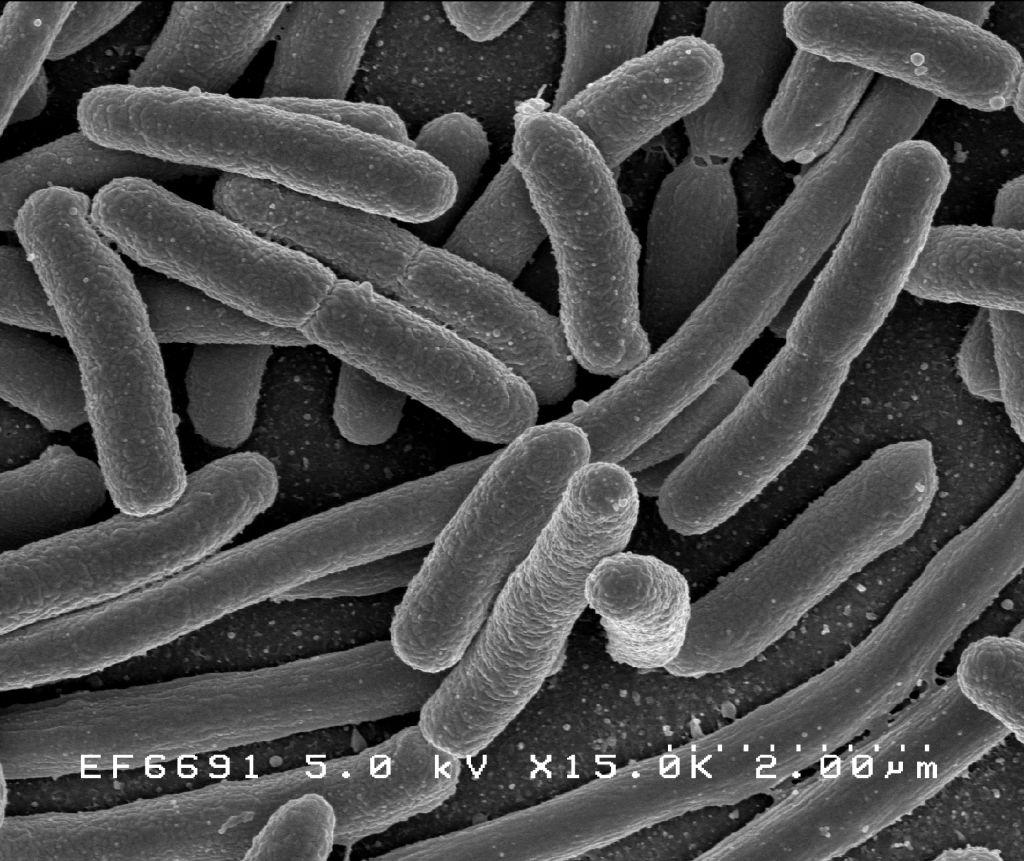 bacterii fermentative