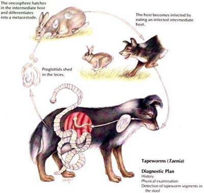 Teniaza: ce este, cauze, simptome, tratament, prevenţie, Numele parazitului teniozei