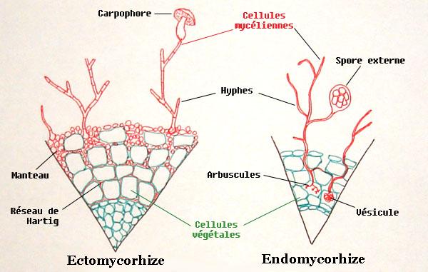 ciuperci parazitare obligatorii cancer bucal libros