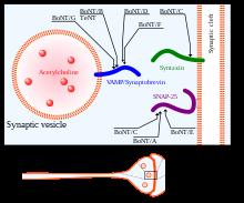 NEUROTOXINE - Definiția și sinonimele neurotoxine în dicționarul Franceză Toxine botulique rat