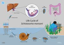 Schistosomiasis zoonotic. Cărți din categoria parazitologie | Books Express