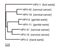 hpv strains warts