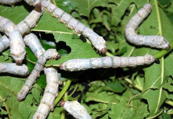 că viermi de pin se manifestă?
