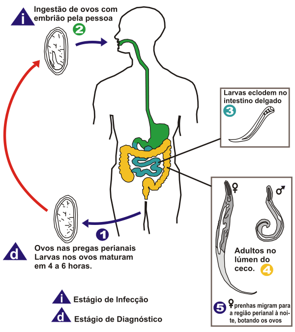 Oxiurose prevencao e tratamento - Cryptosporidiosis dieta Oxiurose diagnostico e tratamento