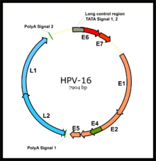 Virus del papiloma tipo 16 y 18, Cuadro Cancer de Cervix