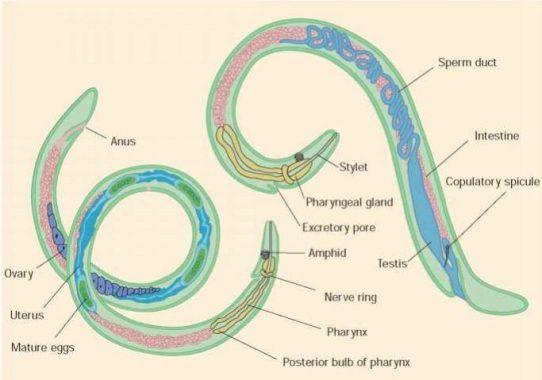 Que es her2 en cancer de mama, Tratamentul viermei profetului de către viermi