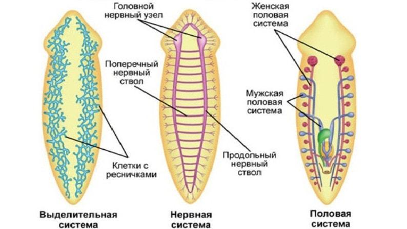 Acoelomates: Animale Fără o cavitate a corpului