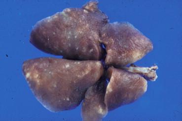 enterobius vermicularis viviparous