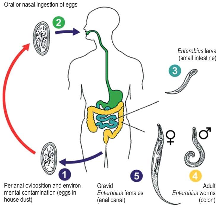 enterobius vermicularis reproduction la adulți au fost negi pe mâinile cauzei