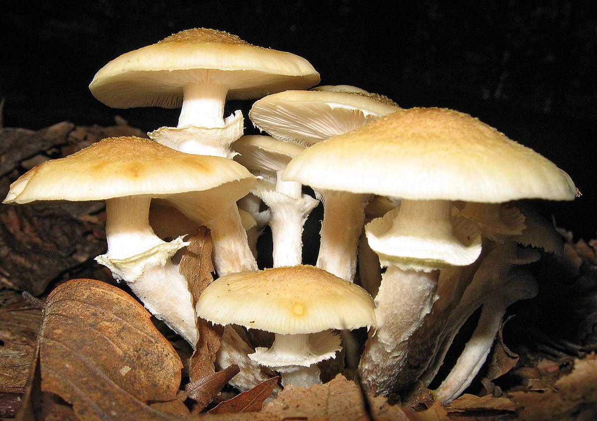 ciuperci opintici pastile pt viermisori adulti