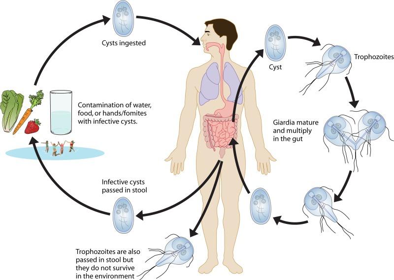 giardia moare la ce temperatură ce medicamente să bea pentru viermi