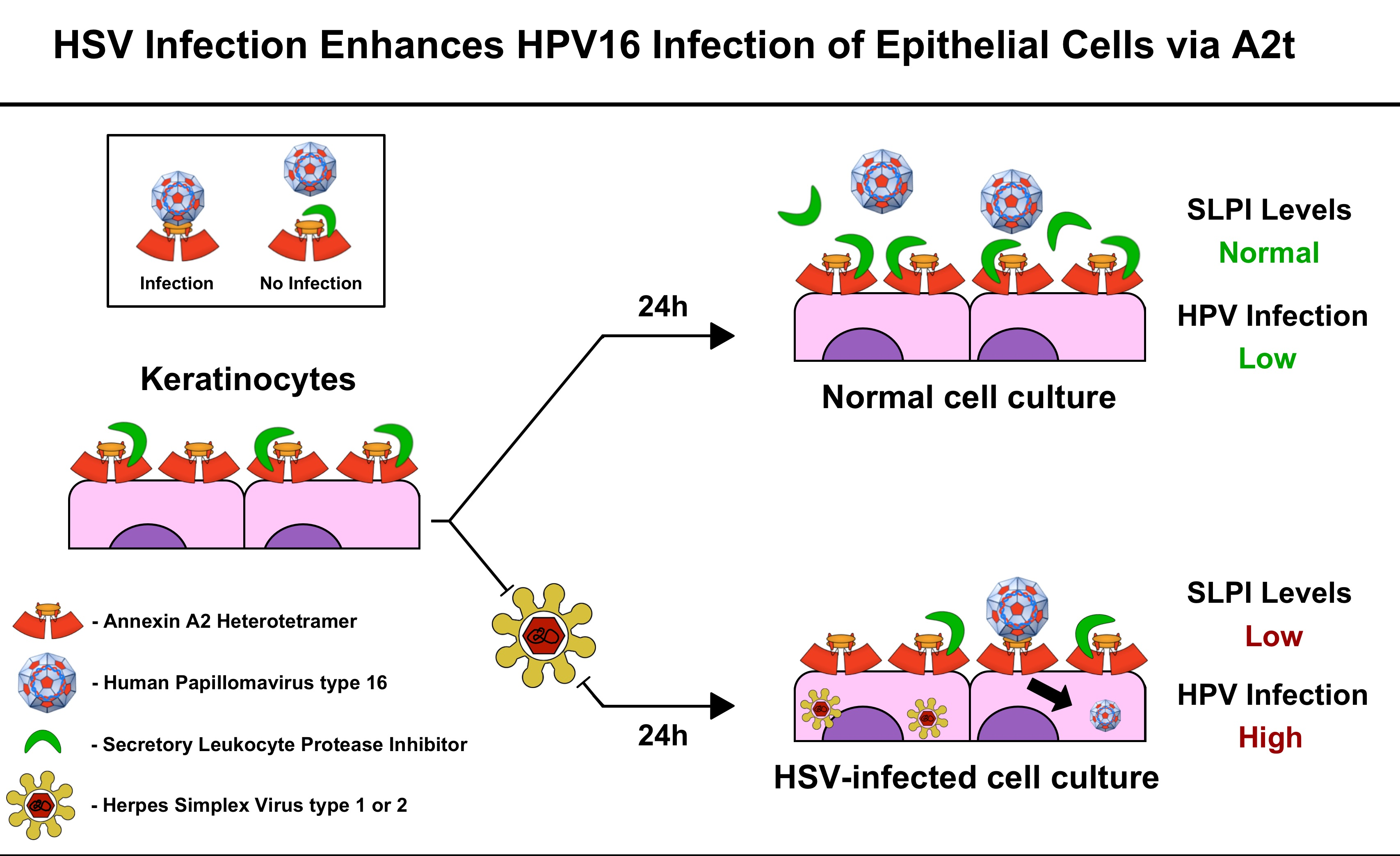 hpv herpes simplex 1