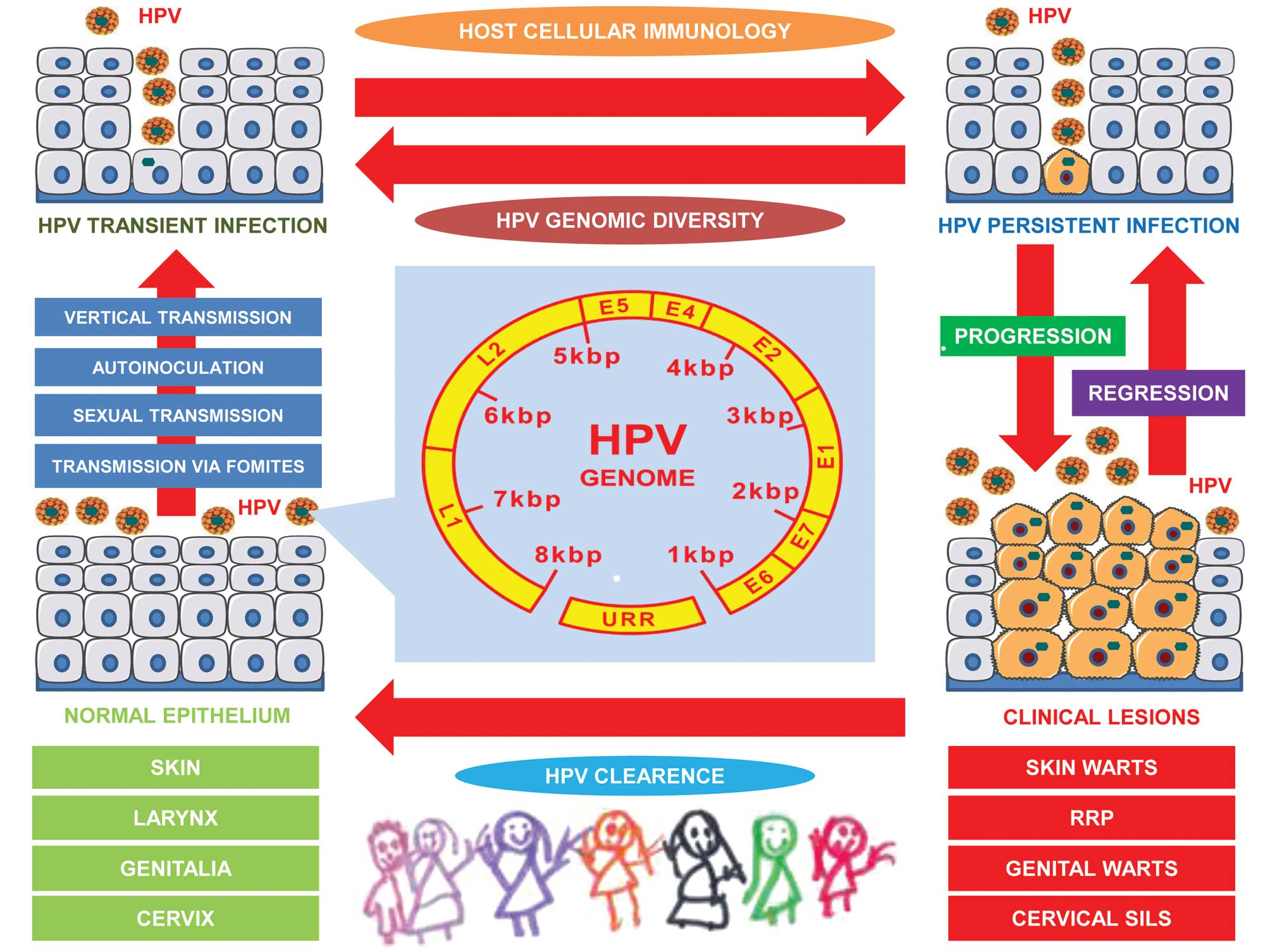 Hpv high risk ratio, Hpv high-risk c (02) positive. HPV o necunoscuta?