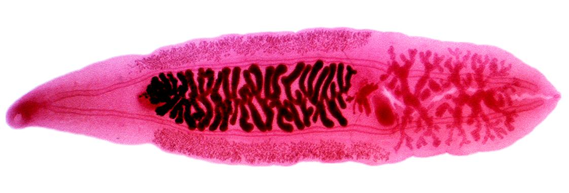 Adică pinworms