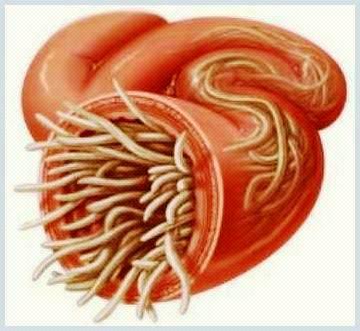 Ciclul de viață al parazitului enterobiozei