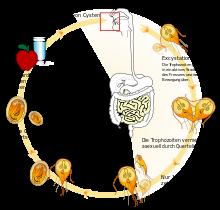 tratamentul viermei profetului de către viermi Viferon unguent pentru papiloame în locuri intime