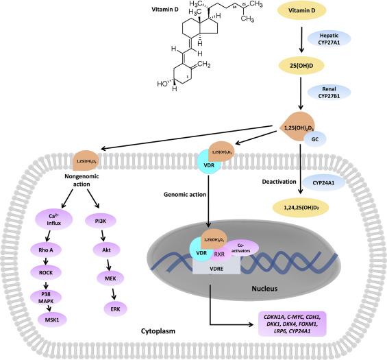 Vitamina D: importantă în cancerul colorectal