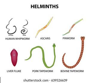 pinworm uman