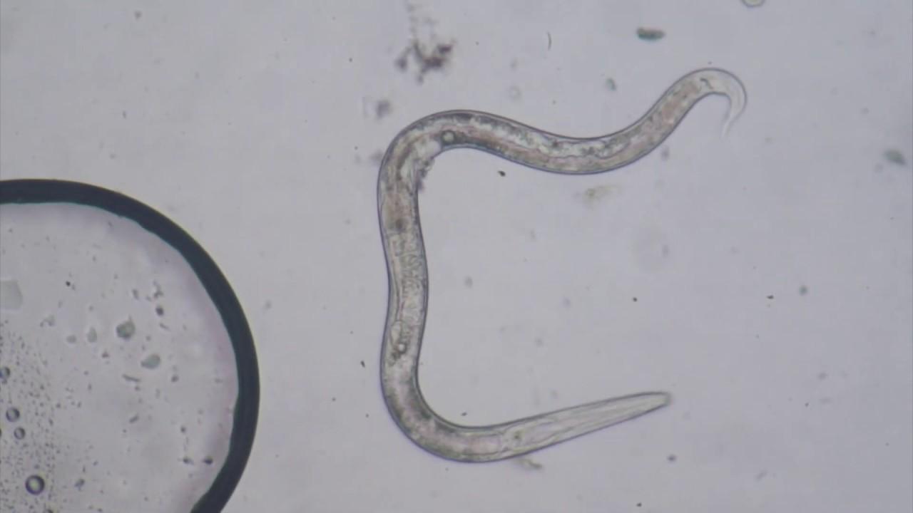 oxiuros nematodos
