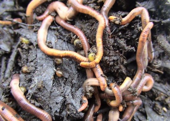 scăpând de viermi pentru un adult