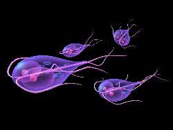 Giardia – paraziti intestinali