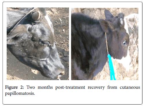 papillomatosis atau kutil pada sapi
