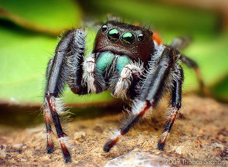 Văduva neagră - Păianjeni prădători și paraziți